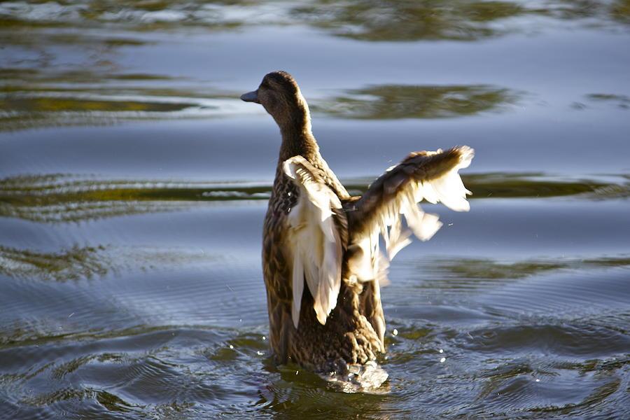 Duck Photograph - Swim by Ashley Balkan