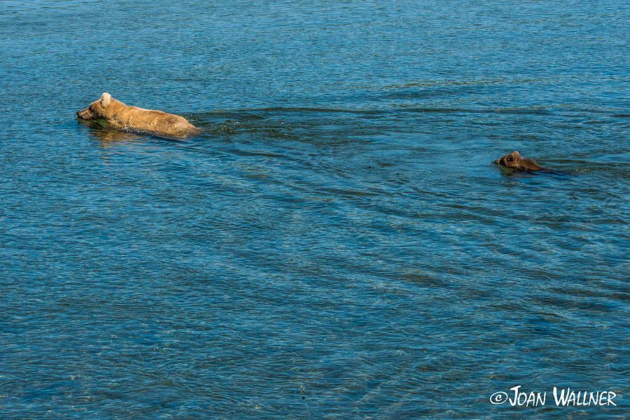 Alaska Photograph - Swim time with Mom by Joan Wallner