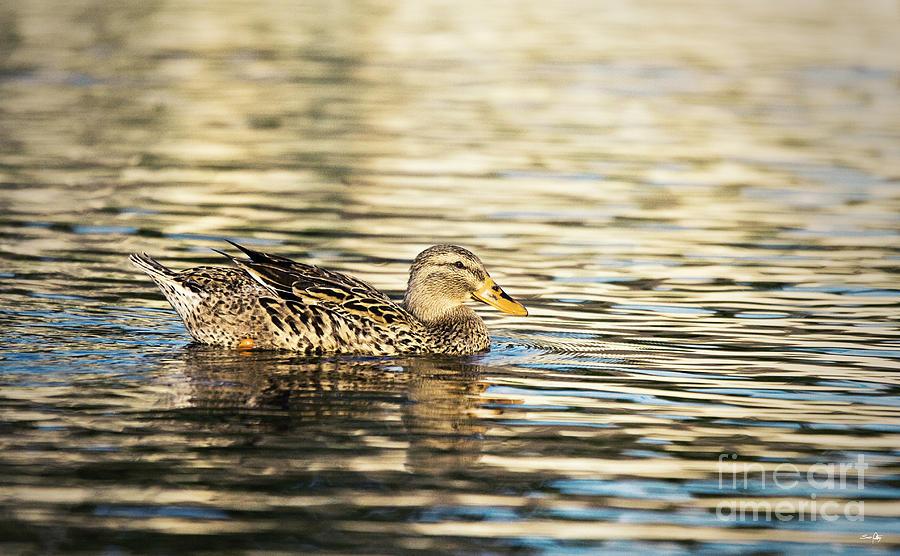 Duck Photograph - Swimming At Sunset by Scott Pellegrin