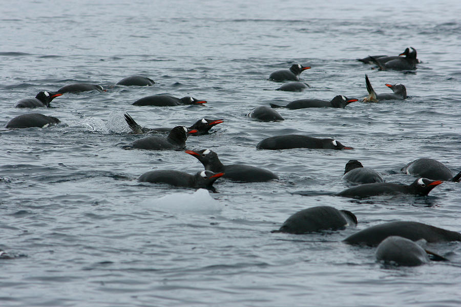 Swimming Gentoo Penguins Photograph By Amanda Stadther