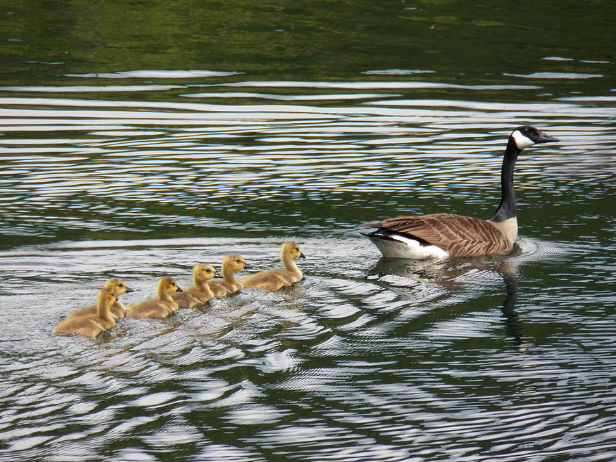 Canada Goose Photograph - Swimming Lesson by Jane Munroe