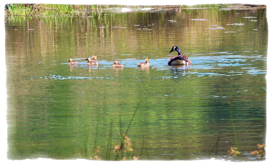 Geese Photograph - Swimming Lessons 1 by Tanya Jacobson-Smith