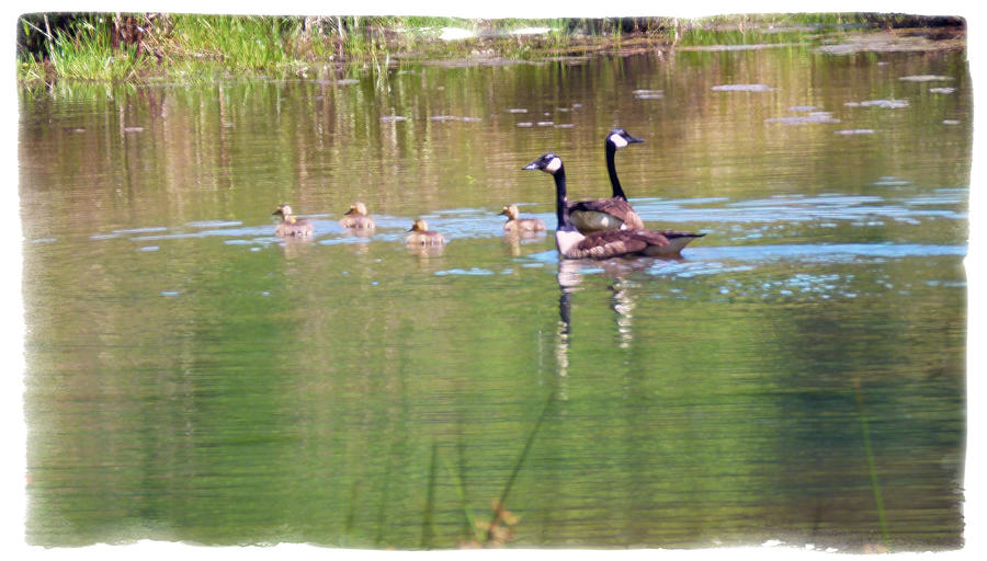 Geese Photograph - Swimming Lessons 2 by Tanya Jacobson-Smith