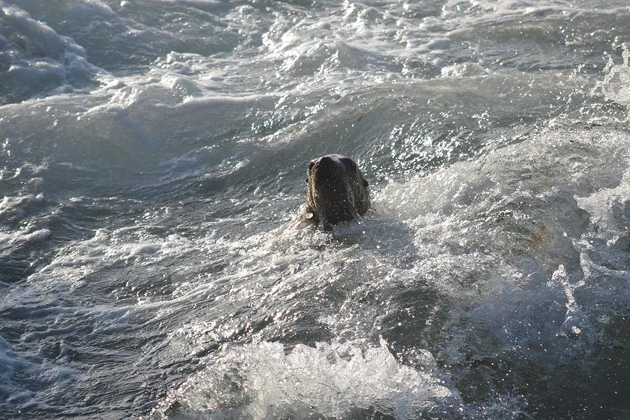Swimming Sea Lion Photograph