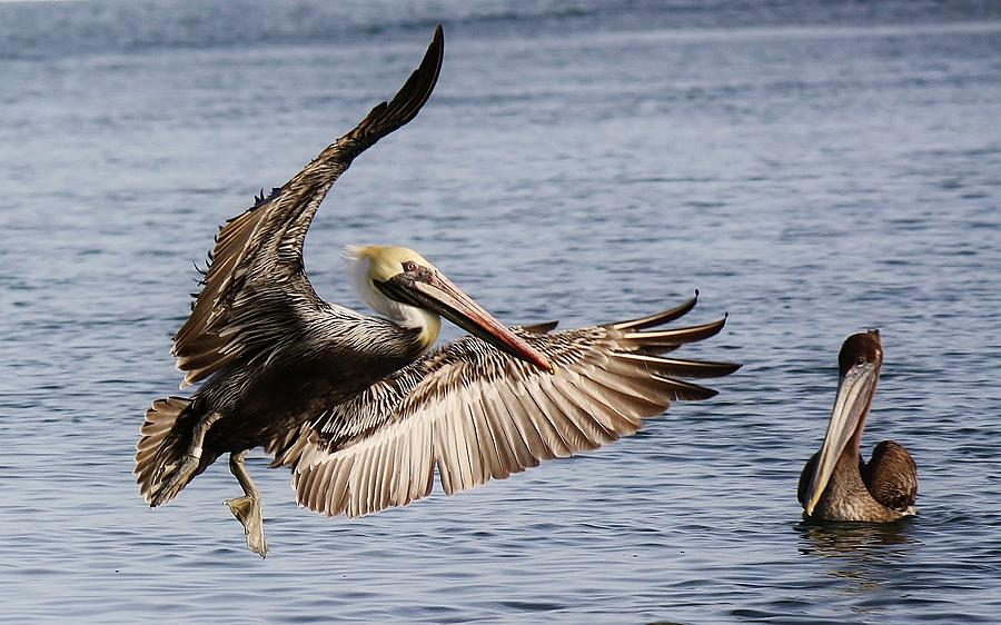 Pelicans Photograph - Swinging By To Say Hello by Paulette Thomas