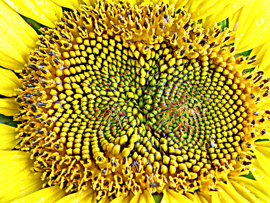 Sunflower Photograph - Swirling Sunflower Bloom by Kim Galluzzo Wozniak
