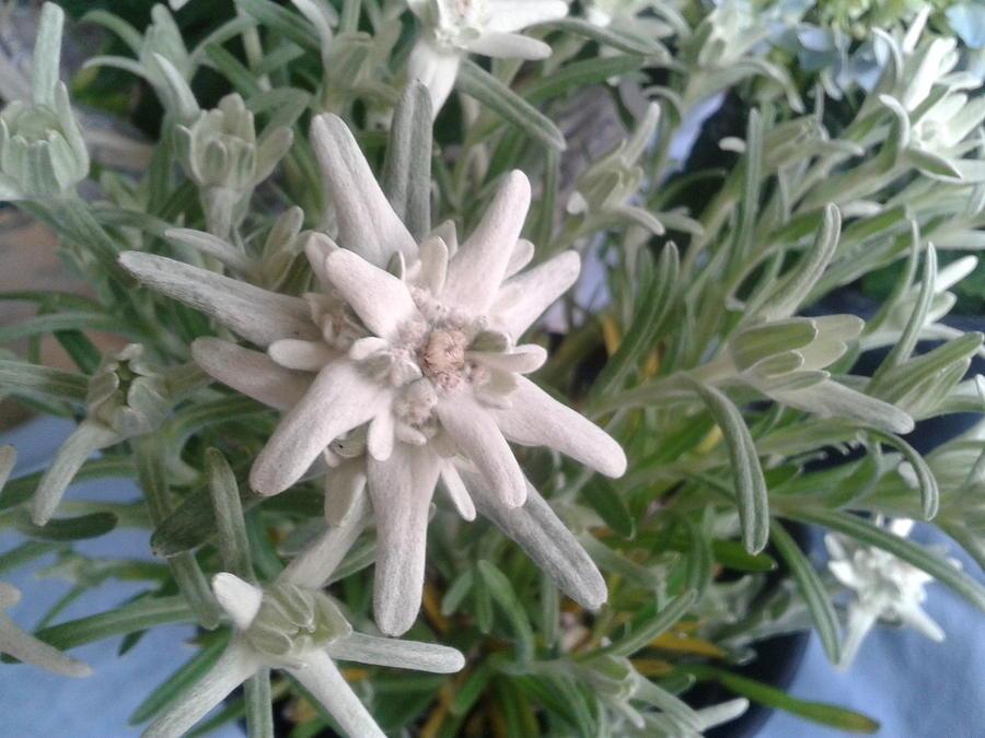 Flower Photograph - Swiss Alp Flower by Fladelita Messerli-