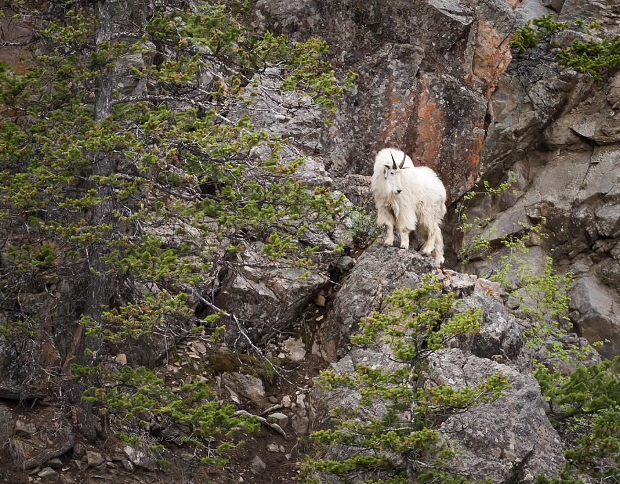 Beautiful Photograph - Switchback Goat 4 by Roger Snyder