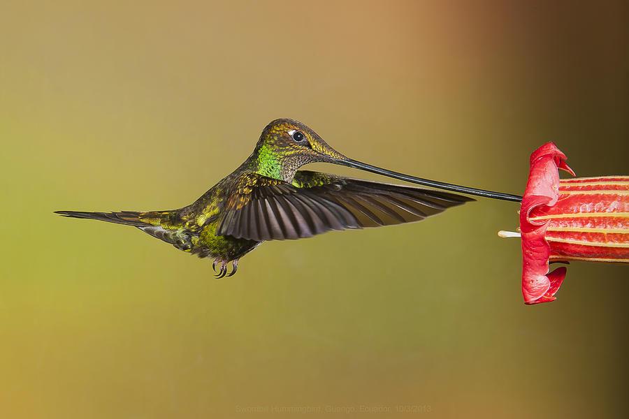 Sword-billed Hummingbird by Jim Frandeen