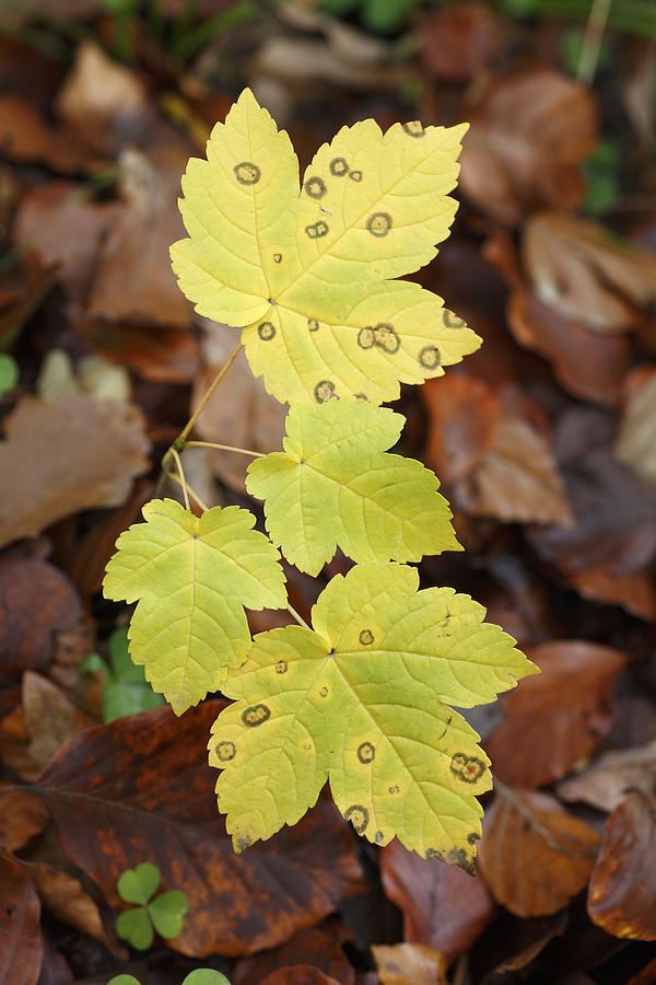 Sycamore Leaves Germany Photograph by Duncan Usher