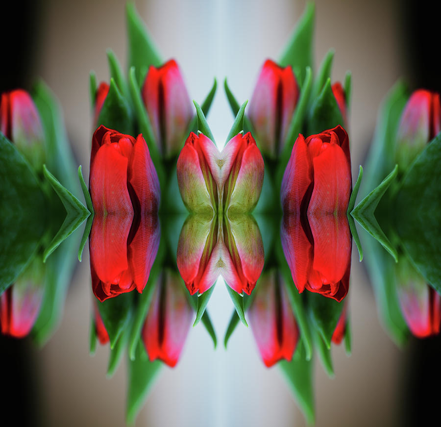 Symmetrical Composite Of Red Tulips Photograph by Silvia Otte