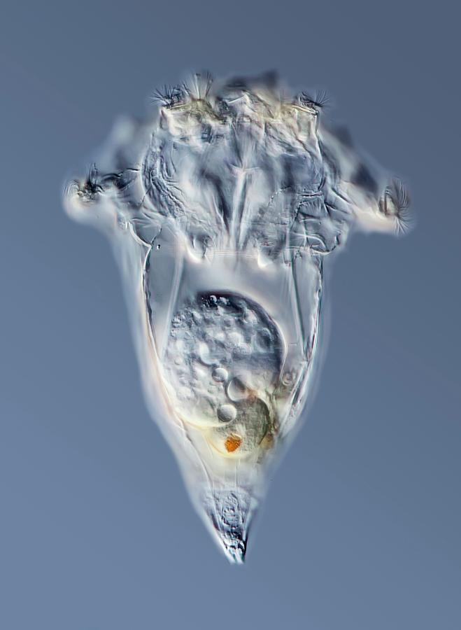 Animal Photograph - Synchaeta Rotifer by Gerd Guenther