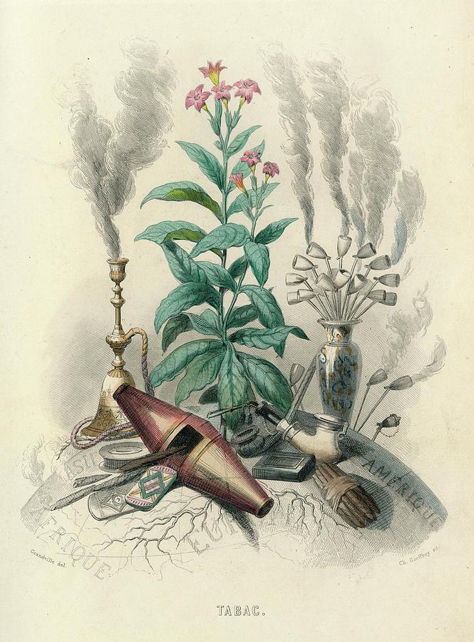 Tabac Tobacco-plant (nicotiana Tabacum)