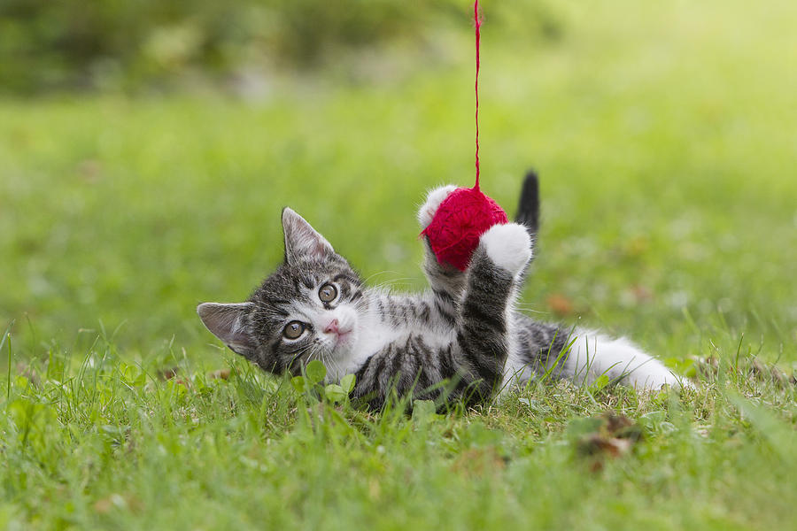 Tabby Kitten Playing With Ball Of Wool Photograph by Duncan Usher