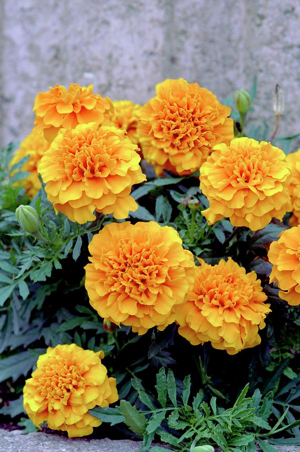 French Marigolds Photograph - Tagetes Patula sunspot Mixed by Brian Gadsby/science Photo Library