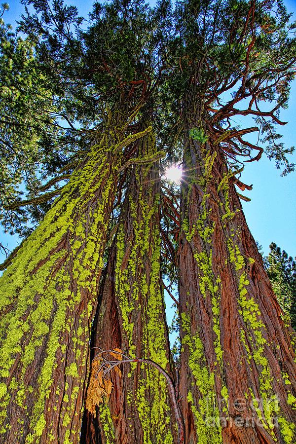 Tahoe Trees - Lake Tahoe By Diana Sainz Photograph by ...