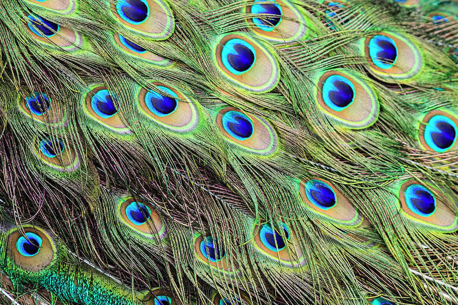 Tail Feathers Of Indian Peacok Photograph by Juan Silva