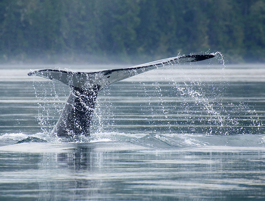 Tail Of Humpback Whale Photograph by Grant Faint