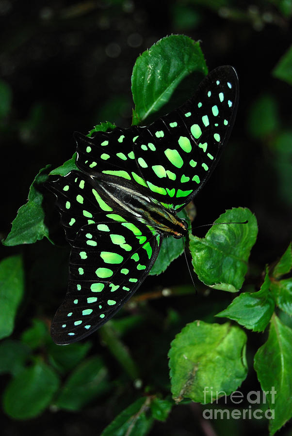 Graphium Agamemnon Photograph - Tailed Jay Butterfly by Eva Kaufman