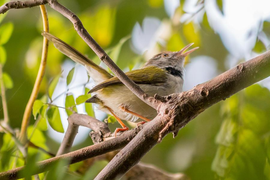 Bird Photograph - Tailor Bird by Gaurav Singh