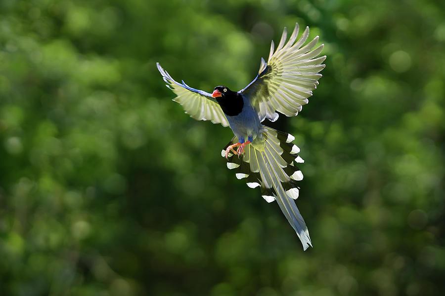 Taiwan Blue Magpie,bird, Family Corvidae Photograph by Fuyi