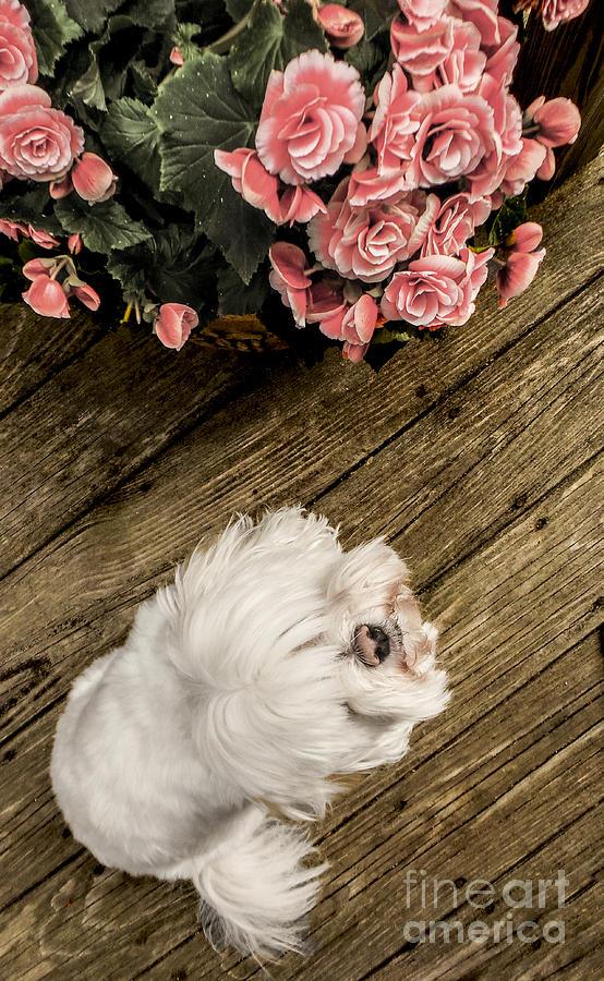 Havanese Puppy Photograph