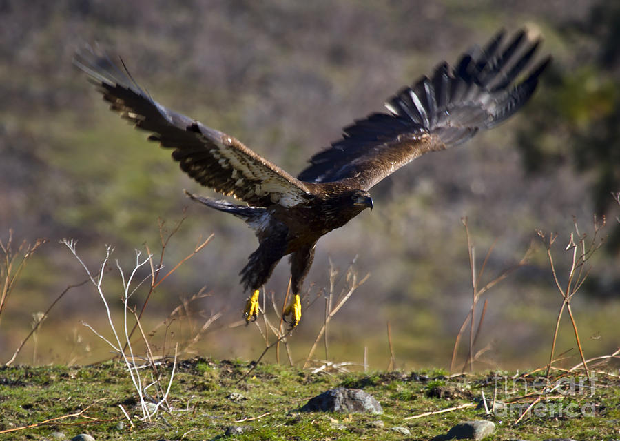 Eagle Photograph - Take-off by Mike  Dawson