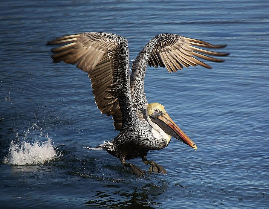 Pelican Photograph - Take Off by Paulette Thomas