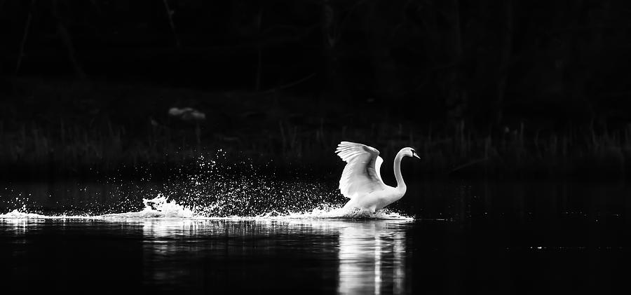 Swans Photograph - Take Off by Rose-Maries Pictures