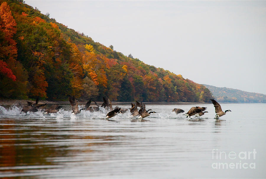 Canada Geese Photograph - Takeoff by Steve Clough