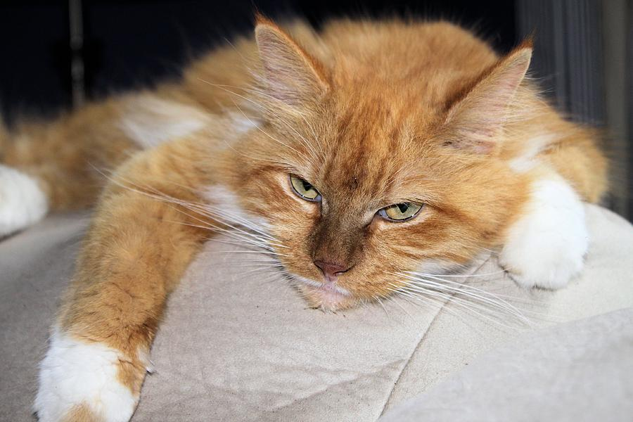 Cat Photograph - Taking A Break by Carolyn Ricks