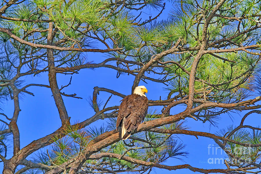 Bald Eagle Photograph - Taking A Nest Break by Deborah Benoit