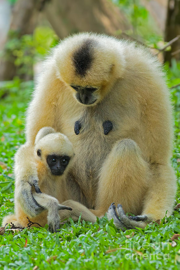 Khao Kheow Open Zoo Photograph - Taking Care Of Junior by Ashley Vincent