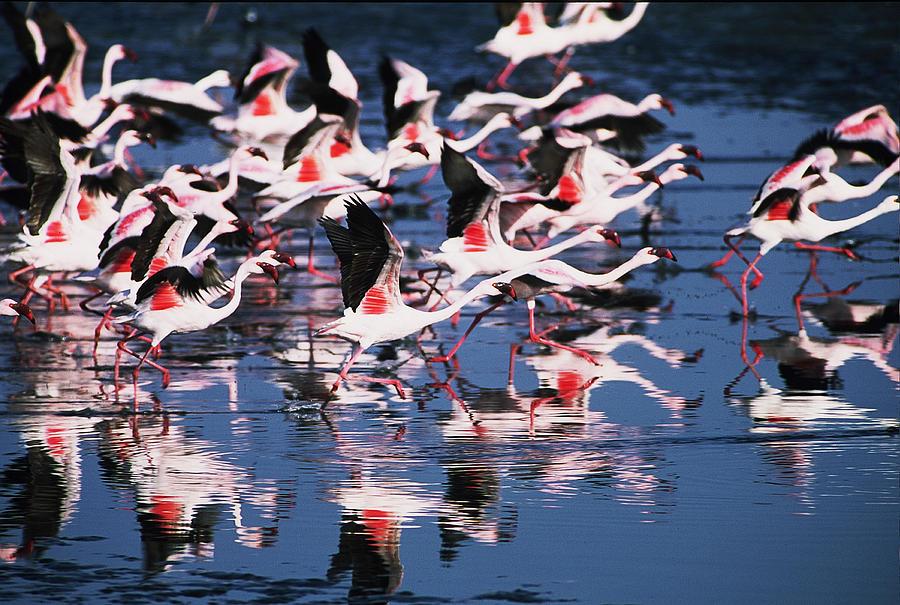 Flamingos Photograph - Taking Flight by Stefan Carpenter