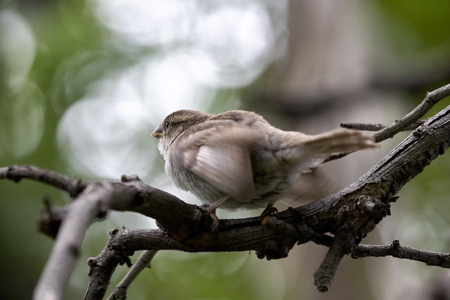 Sparrow Photograph - Taking off by Goyo Ambrosio