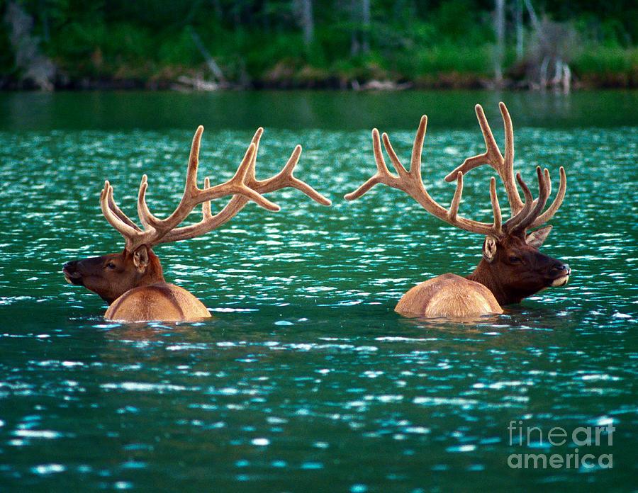 Bull Elk Photograph - Talbot Lake Elk by Terry Elniski