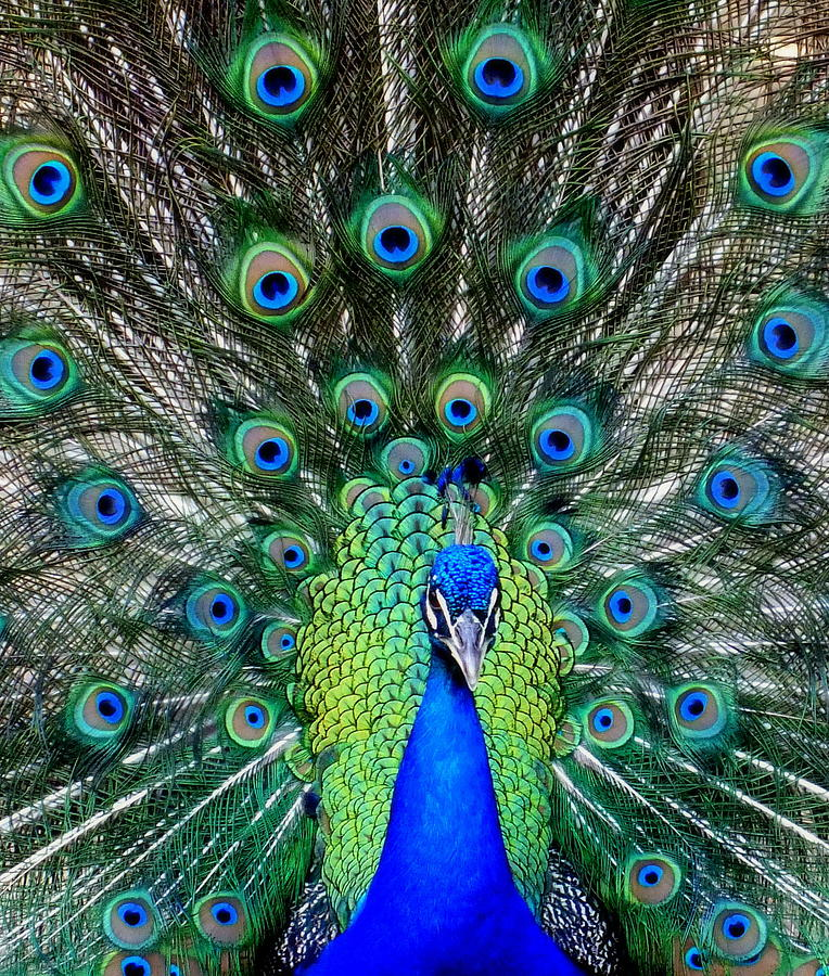 Feathers Photograph - Talk Of The Walk by Karen Wiles