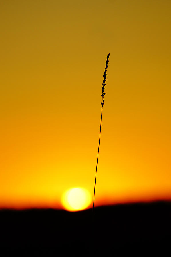 tall grass silhouette. Interesting Tall Sadness Photograph  Tall Grass Silhouette At Sunset By Sylvie Corriveau For