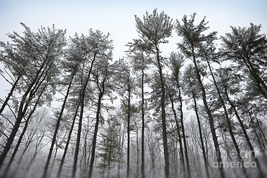 Trees Photograph - Tall Snow Covered Trees by Sharon Dominick