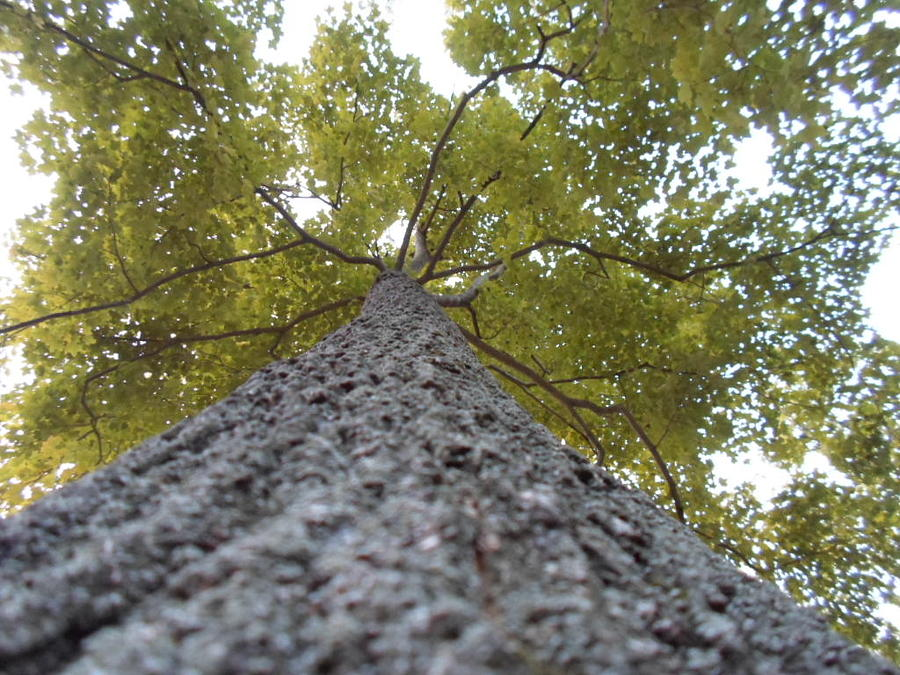 Tree Photograph - Tall Tree by Jenna Mengersen