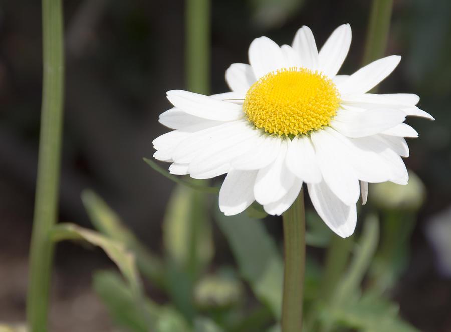 Daisy Photograph - Tall White Gerbera Daisy by Priyanka Ravi