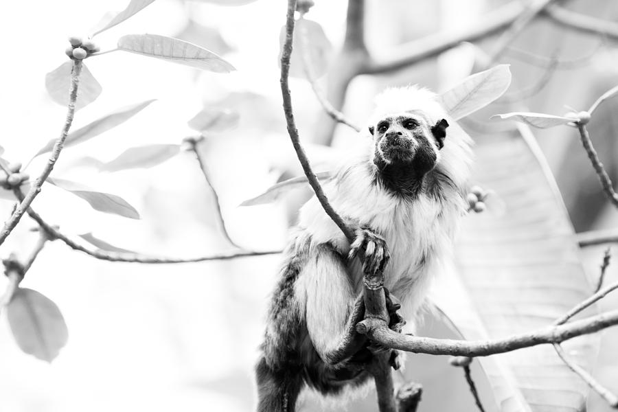 Zoo Photograph - Tamarin by Andy Fung