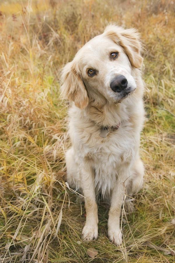 Animal Photograph - Tan Coloured Mixed Breed Dog by Darwin Wiggett