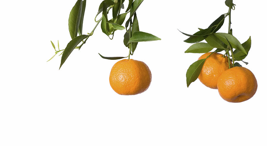 Isolated On White Pyrography - Tangerines On Branch by Anna Kaminska