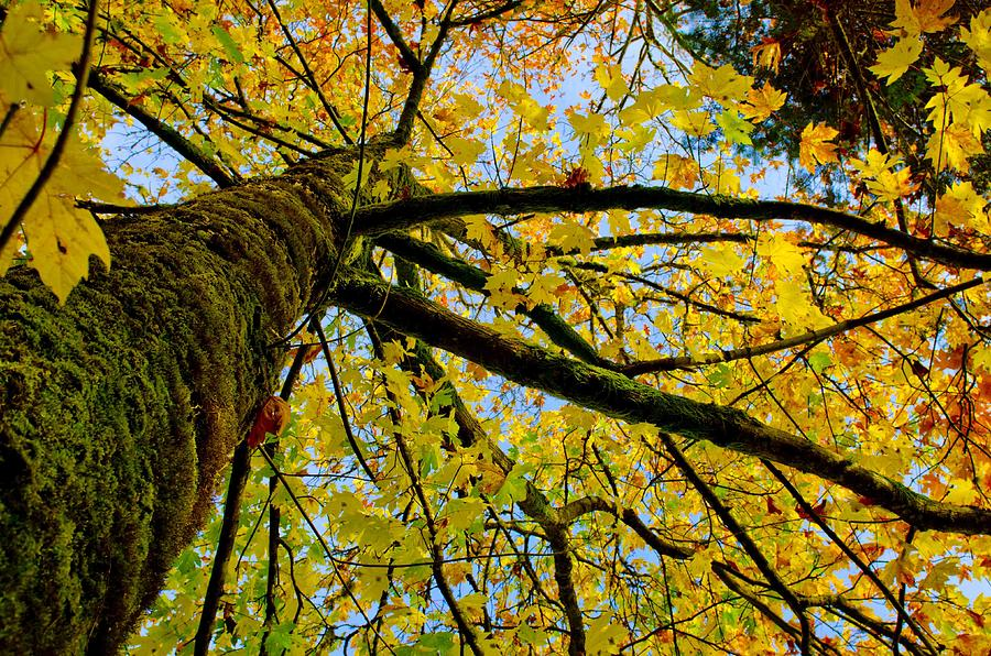 Tree Photograph - Tangled Up In Yellow by Robert Holmberg