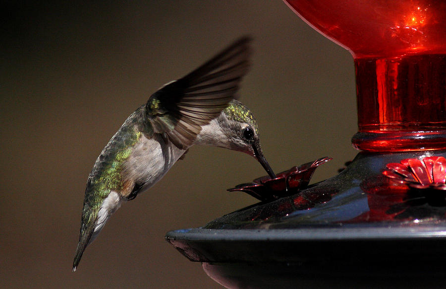 Hummingbird Photograph - Tanking Up by Douglas Stucky