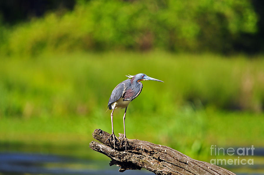 Heron Photograph - Tantalizing Tricolored by Al Powell Photography USA