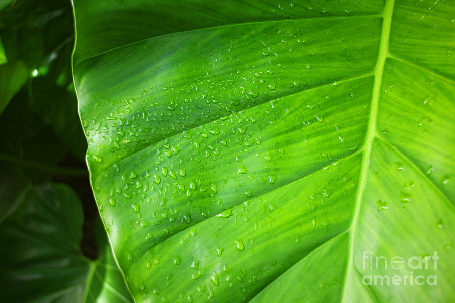 Hawaii Photograph - Taro Morning Dew by Jun TR