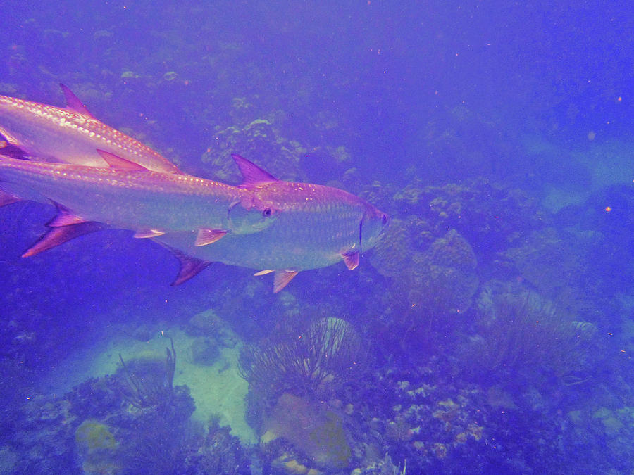 Tarpon Photograph - Tarpon Reef by Carey Chen