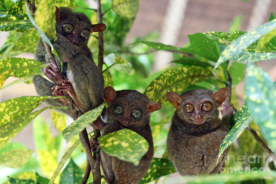 Tarsier Photograph - Tarsier by Lars Ruecker